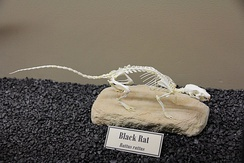 Skeleton of a black rat (Rattus rattus) on display at the Museum of Osteology.
