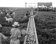 Harvesters using a conveyor belt in order to aid with tomato harvesting in Princeton, Florida. 1957