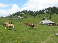 Summer grazing in a high-elevation environment at the Big Pasture Plateau, Slovenia