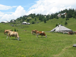 Cattle grazing in a high-elevation environment at the Big Pasture Plateau, Slovenia