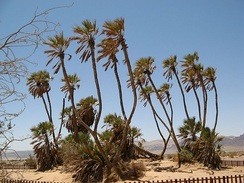 Doum palms, a food source in the Tibesti