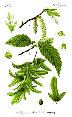 Граб обыкновенный. Ботаническая иллюстрация из книги О.В.Томе Flora von Deutschland, Österreich und der Schweiz, 1885