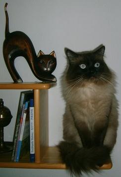 Невский маскарадный кот Einar