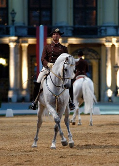 Stallions are capable of achieving a high level of discipline and training.