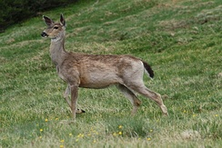 Black-tailed deer graze at Deer Park in Olympic National Park