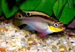 During courtship, the female cichlid, Pelvicachromis taeniatus, displays her visually arresting purple pelvic fin