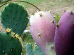 Close-up image of prickly pear fruit: Apart from the large spines, note the glochids (the fine prickles, or bristles) that readily dislodge and may cause skin and eye irritation.