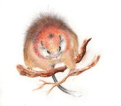 Drawing of the critically endangered red crested soft-furred spiny rat