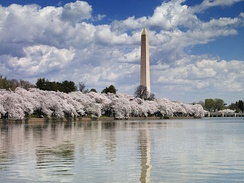 The Washington Monument seen across the Tidal Basin during 2007's National Cherry Blossom Festival.