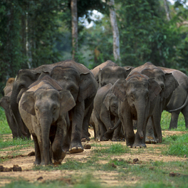Female elephants live in stable groups, along with their offspring.