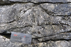 Carboniferous coral, Ingleton, North Yorkshire