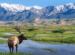 Bull elk at Big Spring Creek in Great Sand Dunes National Park