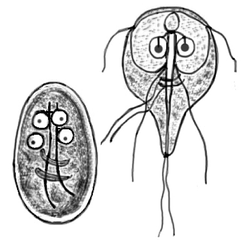 Cyst and imago of Giardia lamblia, the protozoan parasite that causes giardiasis. The species was first observed by Antonie van Leeuwenhoek in 1681