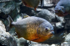 Red-bellied piranha (Pygocentrus nattereri) is a species of piranha. This species lives in the Amazon River basin, coastal rivers of northeastern Brazil, and the basins of the Paraguay, Paraná and Essequibo Rivers.