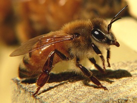 Honeybees become pessimistic after being shaken