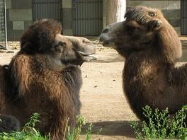Бактрианы в зоопарке Берлина. Хорошо видна более длинная и густая шерсть на голове