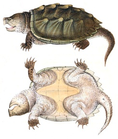 Illustration from Holbrook's North American Herpetology, 1842