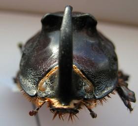 Oryctes nasicornis 1375.JPG