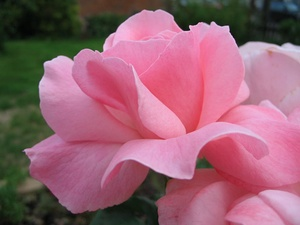 In most European languages, pink is called rose or rosa, after the rose flower.
