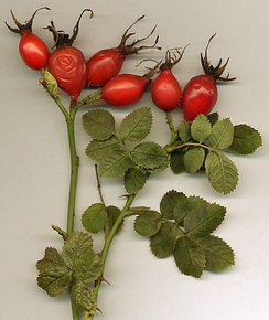 Dog rose showing the bright red hips
