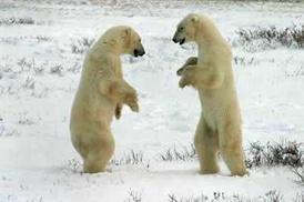 Схватка полярных медведей (Канада)