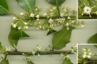 Ilex aquifolium is dioecious: (above) shoot with flowers from male plant; (top right) male flower enlarged, showing stamens with pollen and reduced, sterile stigma; (below) shoot with flowers from female plant; (lower right) female flower enlarged, showing stigma and reduced, sterile stamens (staminodes) with no pollen