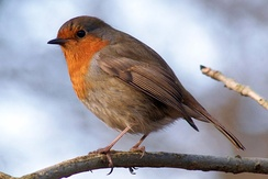 European robin on a branch facing left, tan plumage with orange face and throat