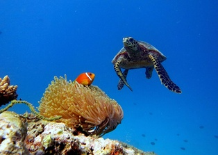 Underwater landscape at Baa Atoll, showing a hawksbill turtle and a Maldivian clownfish in its anemone