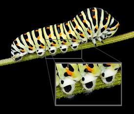 Гусеница махаона (Papilio machaon). Хорошо виден полный набор грудных (три пары) и брюшных (пять пар) ног.