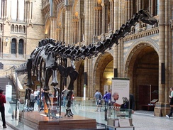 Dippy in the Hintze Hall at the Natural History Museum in 2008