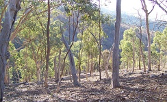 Eucalyptus forest in a state of regeneration