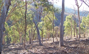 Australian eucalyptus forest in a state of regeneration.