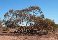 Eucalyptus socialis, showing its mallee habit, a single tree with several trunks growing from an underground lignotuber