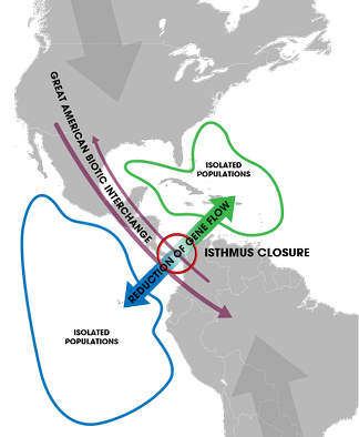 The closure of the Isthmus led to allopatric speciation events of marine organisms isolated on each side (blue and green). Terrestrial species also migrated between the two continents (the Great American Biotic Interchange) upon the formation of a passable land bridge.