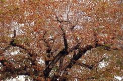 Конский каштан обыкновенный, поражённый каштановой минирующей молью. Сен-Жерве-ле-Бэн, Франция