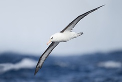 The black-browed albatross regularly flies hundreds of kilometres across the nearly empty ocean to find patches of food.