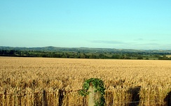 A wheat field in Dorset, England