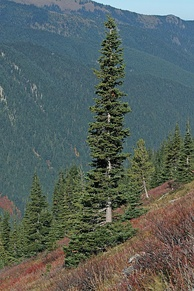 The narrow conical shape of northern conifers, and their downward-drooping limbs, help them shed snow.
