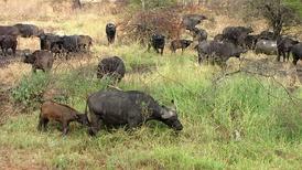 Смешанное стадо буйволов