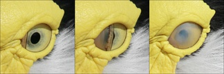 The nictitating membrane as it covers the eye of a masked lapwing