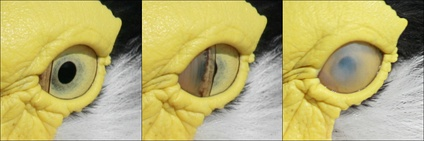 A masked lapwing blinking the left eye (the nictitating membrane is used rather than the eyelids). Note origin of the membrane from the medial canthus.