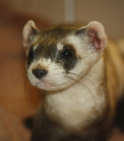 Black-footed ferret at the Louisville Zoo