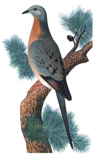The passenger pigeon, one of the hundreds of species of extinct birds, was hunted to extinction over the course of a few decades.