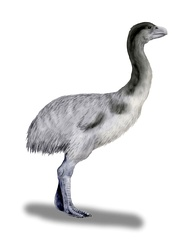 Genyornis newtoni, a 2-metre (7 ft) tall flightless bird. Evidence of egg cooking in this species is the first evidence of megafaunal hunting by humans in Australia.[66]