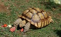 African spurred tortoise from the Oakland Zoo