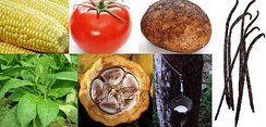 New World crops. Clockwise from top left: 1. Maize (Zea mays) 2. Tomato (Solanum lycopersicum) 3. Potato (Solanum tuberosum) 4. Vanilla (genus Vanilla, esp. Vanilla planifolia) 5. Pará rubber tree (Hevea brasiliensis) 6. Cacao (Theobroma cacao) 7. Tobacco (Nicotiana rustica)