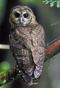 The northern spotted owl primarily inhabits old-growth forests in the northern part of its range (Canada to southern Oregon) and landscapes with a mix of old and younger forest types in the southern part of its range (the Klamath region and California).