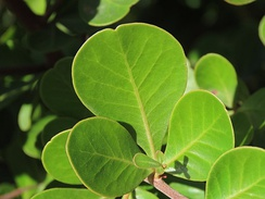 The central leaflets of the ternate leaves of Searsia glauca are oblate and commonly retuse.