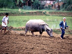 Agriculture deploys 70% of the world's child labour.[13] Above, child worker on a rice farm in Vietnam.