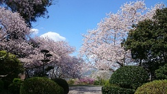 Cherry blossoms at Sugimura park, Hashimoto